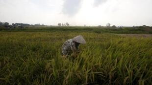 Một cánh đồng lúa gần Hà Nội. Nông nghiệp Việt Nam sẽ bị ảnh hưởng nặng nề do mực nước biển dâng cao