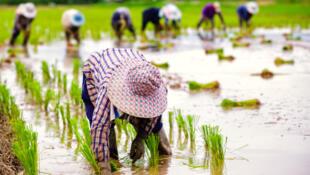 Des fermiers qui travaillent dans une rizière en Thaïlande.