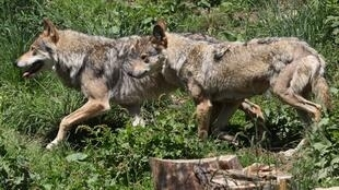 European gray wolves in the semi-wildlife animal park of Les Angles, southwestern France, in 2015