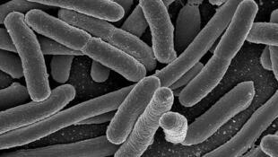Imagens de microscópio da bactéria Echerichia Coli Hemorrágica
