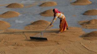 Une femme étale du riz pour le séchage dans une rizerie à la périphérie de Kolkata, en Inde.