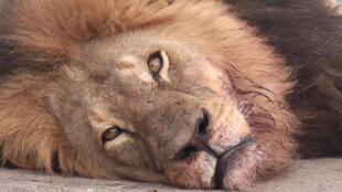 Le lion Cecil était une icône au Zimbabwe.