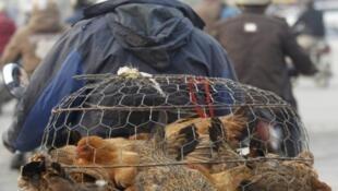 Ảnh minh họa: Dịch cúm gia cầm có nguy cơ tái bùng phát tại Trung Quốc.