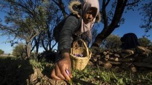 Une ouvrière marocaine cueille des fleurs de safran dans un champ de la région de Taliouine, dans le sud-ouest du Maroc, le 7 novembre 2018.