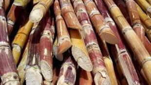 Sugarcane harvested for processing. Sugarcane can produce ethanol.