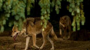 Imagem de ilustração: Lobos na floresta de Bourbansais, em 2015.