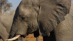 Le Botswana lève l'interdiction de chasser l'éléphant sur son territoire.