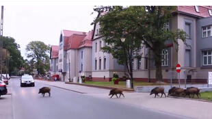 Javalis em uma cidade balneárea da ilha de Usedom fronteira entre a Alemanha e a Polónia, no extremo nordeste da Alemanha e extremo noroeste da Polónia, no Mar Báltico.