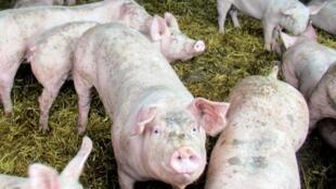 Pigs on the Ferme de la Lande, raised on straw