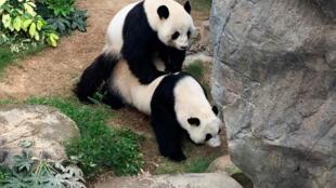 Los pandas del Ocean Park de Hong Kong Ying Ying y Le Le, el 6 de abril de 2020
