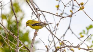 Hors confinement, pour couvrir le bruit causé par l'homme, les oiseaux sont obligés de chanter plus fort ou plus souvent, et cela les fatigue.