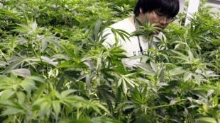 Cente de production de marijuana médicale à Denver; 2012.