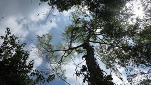 El guáimaro puede medir hasta 30 metros de altura,  crece en los ecosistemas secos tropicales.
