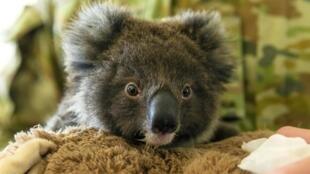 Миллионы долларов пожертвовали на борьбу с лесными пожарами в Австралии. Помогли и фотографии коал в соцсетях