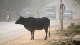 Les vaches, qui sont des animaux sacrés pour les hindous, sont au coeur de tensions interreligieuses en Inde.