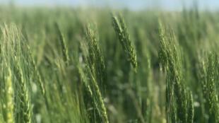 Wheat fields in Elstow, Canada.