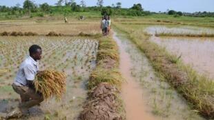 Une rizière en Côte d'Ivoire (photo d'illustration).