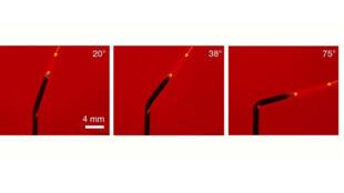 Une fois éclairé, le mini-tournesol sous l'action de la chaleur, rétrécit sa tige et donc son inclinaison, ce qui permet au prototype de se plier pour suivre instantanément les déplacements d'un faisceau laser de faible intensité.