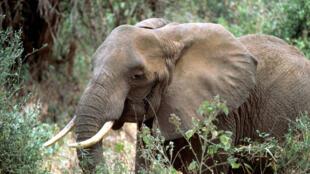 En Afrique, le nombre d'éléphants a diminué de plus de la moitié au cours de la dernière décennie.