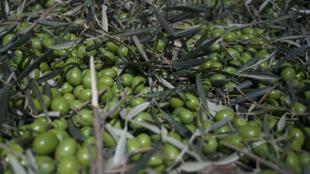 Olives, La Roda de Andalucía (commune située dans la province de Séville de la communauté autonome d'Andalousie en Espagne).