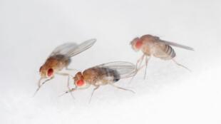 La investigación se llevó a cabo en moscas de la fruta (Drosophila melanogaster), indispensable en el estudio de la genética: los seres humanos comparten con ese insecto el 75 % de los genes que causan enfermedades.