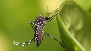 El mosquito Aedes Aegypti es el causante de las epidemias de dengue. Actualmente hay más de 2 millones de infectados en América.