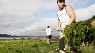 En Bretagne, à Saint Michel-en-Greve, des employés municipaux ramassent les algues vertes qui envahissent les plages.