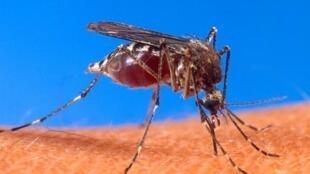 Aedes aegypti est une espèce de moustique qui est le vecteur principal de la dengue et de la fièvre jaune.