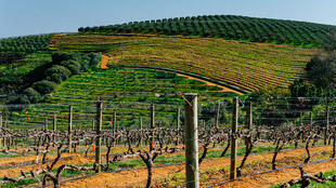 Vignobles en Afrique du Sud sur les pentes du sommet de Botmaskop près de Stellenbosch.