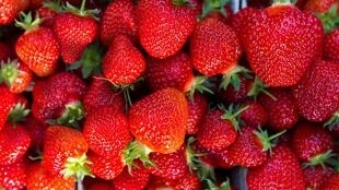 Strawberries are a delicate fruit that needs care while being harvested.
