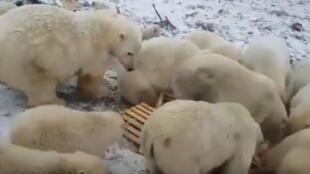 Ante esta manada de osos, la gente tienen miedo de salir de casa.