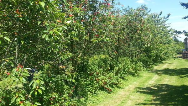 Production bio de fruits au Mesnil sous Jumièges en Seine Maritime, dans l'exploitation de Claire et Pascal Crevel.