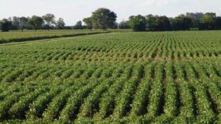 Cultivo de soja transgénica en Santa Fe, Argentina. China aprobó tres variedades de sojas transgénicas.