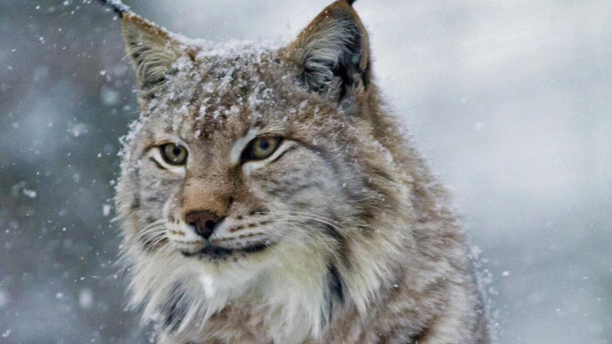 Protesters organize to protect endangered Lynx in French Vosges after shooting