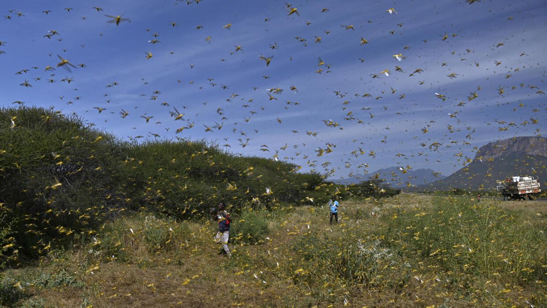 Invasion de criquets en Afrique de l'Est: cinq questions pour comprendre