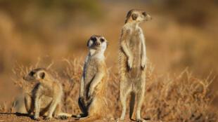 Des suricates en Namibie.