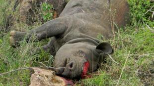 Un rhinocéros tué par des braconniers dans le parc de Lewa, au Kenya, en novembre 2013.