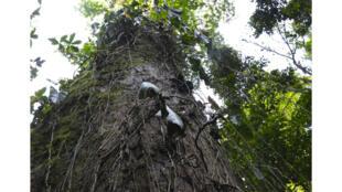 L'arbre Guaimaro.