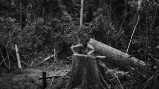 A member of the Guajajara forest guard at the sight of a toppled tree cut down by suspected illegal loggers on the Araribóia indigenous reserve in Maranhão State.