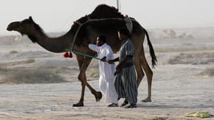 Camels cross Saudi Arabia's remote desert border into Qatar, June 20, 2017.