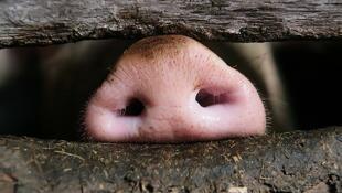 圖為中國非洲豬瘟情況報道圖片