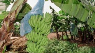 Une plantation de bananes à Aboisso, dans l'est de la Côte d'Ivoire.