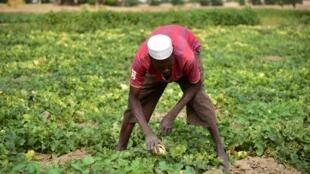 Champ de melon près de Diffa au Niger.