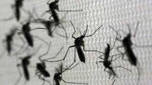 Mosquitos Aedes aegypti geneticamente modificados, produzidos pelo laboratório britânico Oxitec, em Campinas.