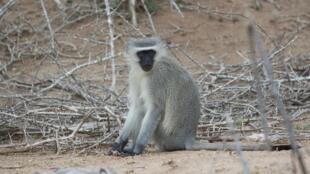 Un singe vervet, au parc Kruger.