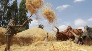Une fermier éthiopien en pleine récolte de teff.