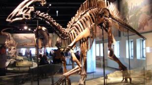 Squelette d'un Parasaurolophus cyrtocristatus au Field Museum de Chicago. Ce «dinosaure à bec de canard», de la famille des hadrosauridés, est un cousin d'Ugrunaaluk kuukpikensis, découvert récemment en Alaska.