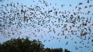 La plus grande colonie au monde de chauves-souris s'envole au crépuscule de Bracken Cave, près de San Antonio au Texas.