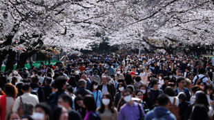 JAPAN-CHERRY-BLOSSOM-Japao-Sakura