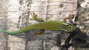Le gecko vert de Manapany (phelsuma inexpectata)